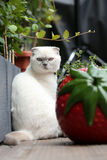 White cat portrait. British Shorthair white cat meowing in the yard stock images