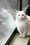 White cat portrait Royalty Free Stock Photo