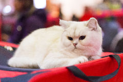 White cat portrait Stock Images