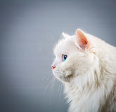 White cat Royalty Free Stock Images