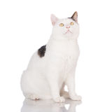 White cat portrait Royalty Free Stock Images
