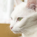 White cat portrait Stock Image