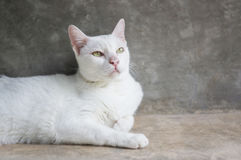 White cat. Portraits in the room, soft focus royalty free stock images