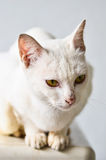 White cat Royalty Free Stock Image