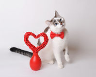 White cat in red bow tie with valentine decor. White cat with blue eyes in red bow tie with valentine heart Stock Photos