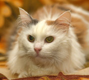 White cat with red and gray spots Royalty Free Stock Image