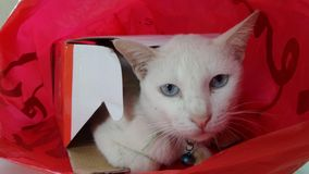 White cat in red shopping bag Stock Image
