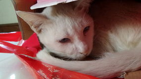 White cat in red shopping bag Royalty Free Stock Images
