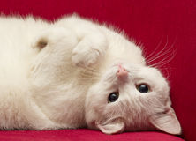 White cat on a red velvet chair Royalty Free Stock Image