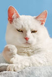 White cat relax Royalty Free Stock Photography