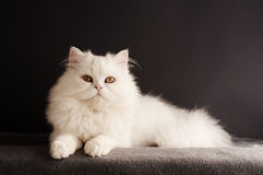 White cat relaxing Stock Image