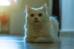 White cat relaxing. White Persian cat lying on the couch Stock Photography