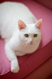 White cat relaxing on the sofa Royalty Free Stock Image