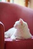 White cat relaxing on the sofa Royalty Free Stock Photos