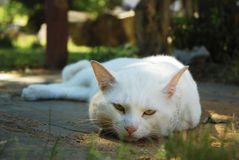 A white cat resting on the backyard. This is an image of a white cat resting  on the backyard Stock Photo
