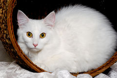 White cat is resting in a basket Stock Photo