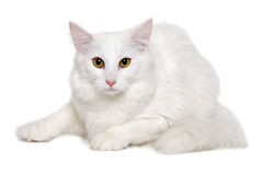 White cat is resting on a clean white background Royalty Free Stock Photography