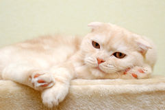 White cat resting on rug. A white chat lazes on a furry platform, resting its head on a paw Stock Photos
