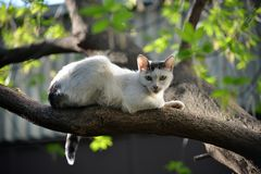 White cat resting on a tree in the Park. These wild cats can be found in every city , but not all cats will be so good to pose like this white cat in the Stock Photography