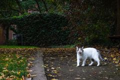 A white cat is roaming with mouth open in an urban park. concrete walls. autumn leaf