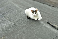 White cat on the roof. In Taiwan Royalty Free Stock Image