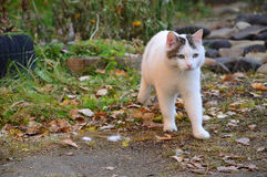 White cat runs across autumn leaves to the goal. Royalty Free Stock Photos