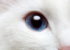 White cat's blue eye Royalty Free Stock Photo