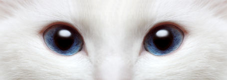 White cat's blue eyes Stock Images