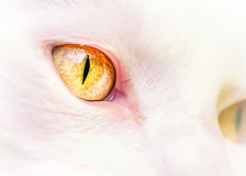 White Cat's Yellow Eyes Stock Photo