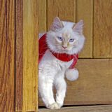 White Cat with Scarf Stock Image