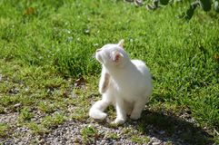 White Cat scratching Stock Photography
