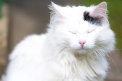 White cat, screwed up eyes... Good quality positive portrait of a charming cat happily sunbathing or sleeping: fluffy white cat with funny face and closed or Stock Images