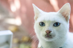 White cat.Select focus.Soft focus. The field for background royalty free stock images