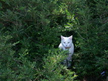 White cat in shrubbery Royalty Free Stock Photos