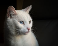 White cat side view Royalty Free Stock Image