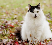 White cat sits on grass and leaves. White cat sitting alertly on autumn (fall) leaves and grass outdoors. Fall colors displayed Royalty Free Stock Photos