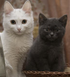 A white cat sits next to a grey kitten. royalty free stock photo