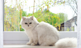 White cat sitting against the window Royalty Free Stock Photography