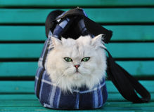 White cat sitting in a bag for the animals Royalty Free Stock Image