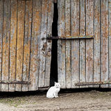 White cat sitting by a barn door Stock Images