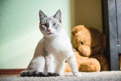 White cat sitting on a carpet with teddy bear on the background looking straight. A white cat sitting on a carpet with teddy bear on the background looking stock image