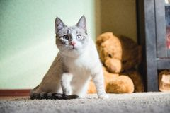 White cat sitting on a carpet with teddy bear on the background looking up. A white cat sitting on a carpet with teddy bear on the background looking up stock photo