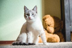White cat sitting on a carpet with teddy bear on the background looking at you. A white cat sitting on a carpet with teddy bear on the background looking at you stock image