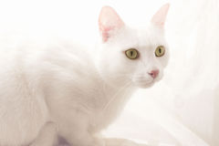 White cat. Sitting in the daylight Stock Photos