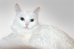 White cat. Sitting in front of white background Stock Image