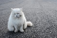 The white cat is sitting looking straight ahead.,defocus,spot focus. The white cat is sitting looking straight ahead., defocus,spot focus royalty free stock photography