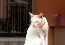 White cat sitting and orange cat strap. It is a small domesticated carnivorous mammal. stock image