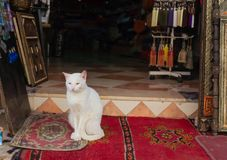 A white cat sitting on a rug in Morocco. stock image