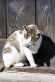 White Cat sitting on sun and  licking her paw Royalty Free Stock Images