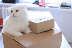 White Cat Sitting on Table And Wants to Get Into Big Box. Stock Photography